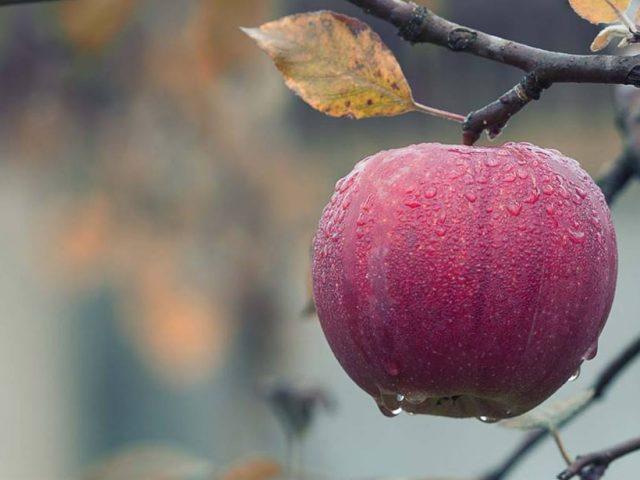 Polskie jabłko z okazji 11 listopada